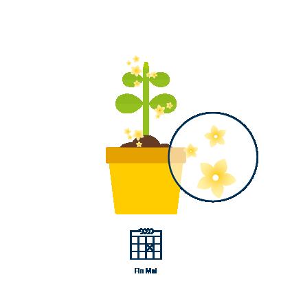 3Des fleurs jaunes apparaissent sur la plante fin mai. La fructification commence 5 jours plus tard.